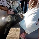 L'impactant vídeo en el que un lleó marí arrossega una nena al mar!